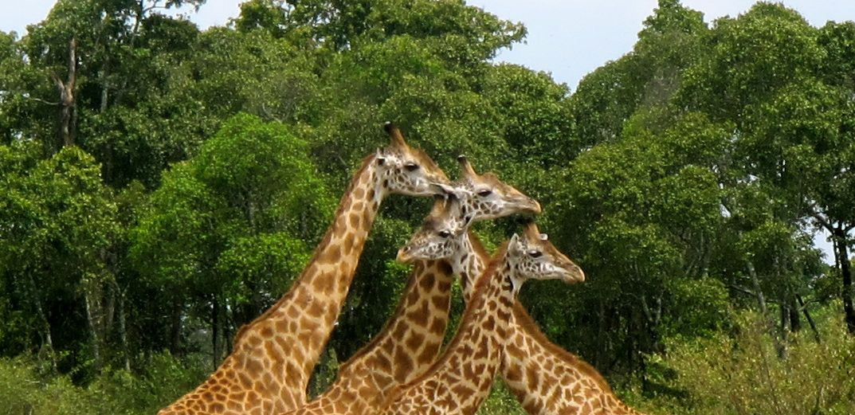Giraffe family Kenya herd Masai Mara Safari