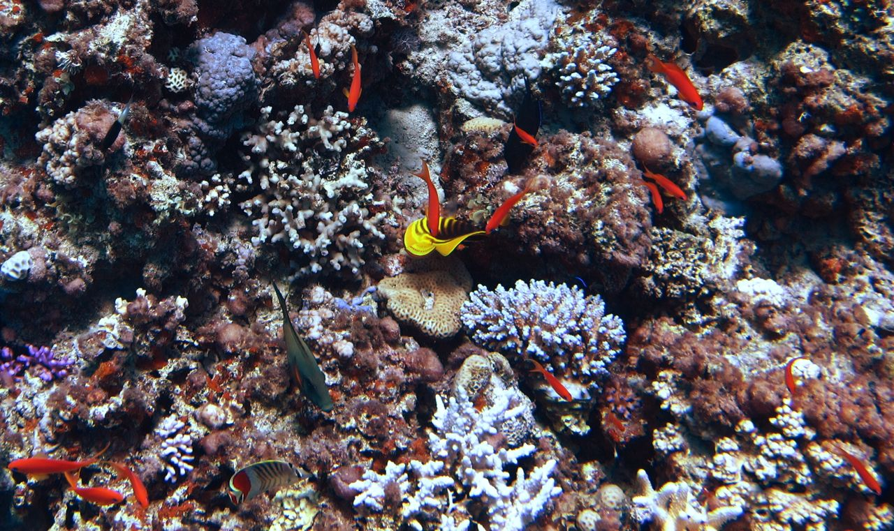 endangered coral reefs essay Abstract coral reefs ecosystems have drastically changed over the past 40 years the main reasons for the decline of coral reefs is due to weather and temperature changes, too much pollution, boats, and overfishing as a result, coral reefs are considered an endangered species.